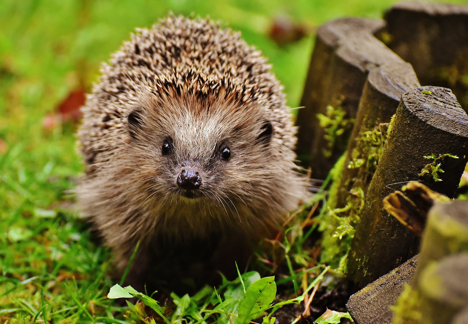 hedgehog-child-1759027_1920