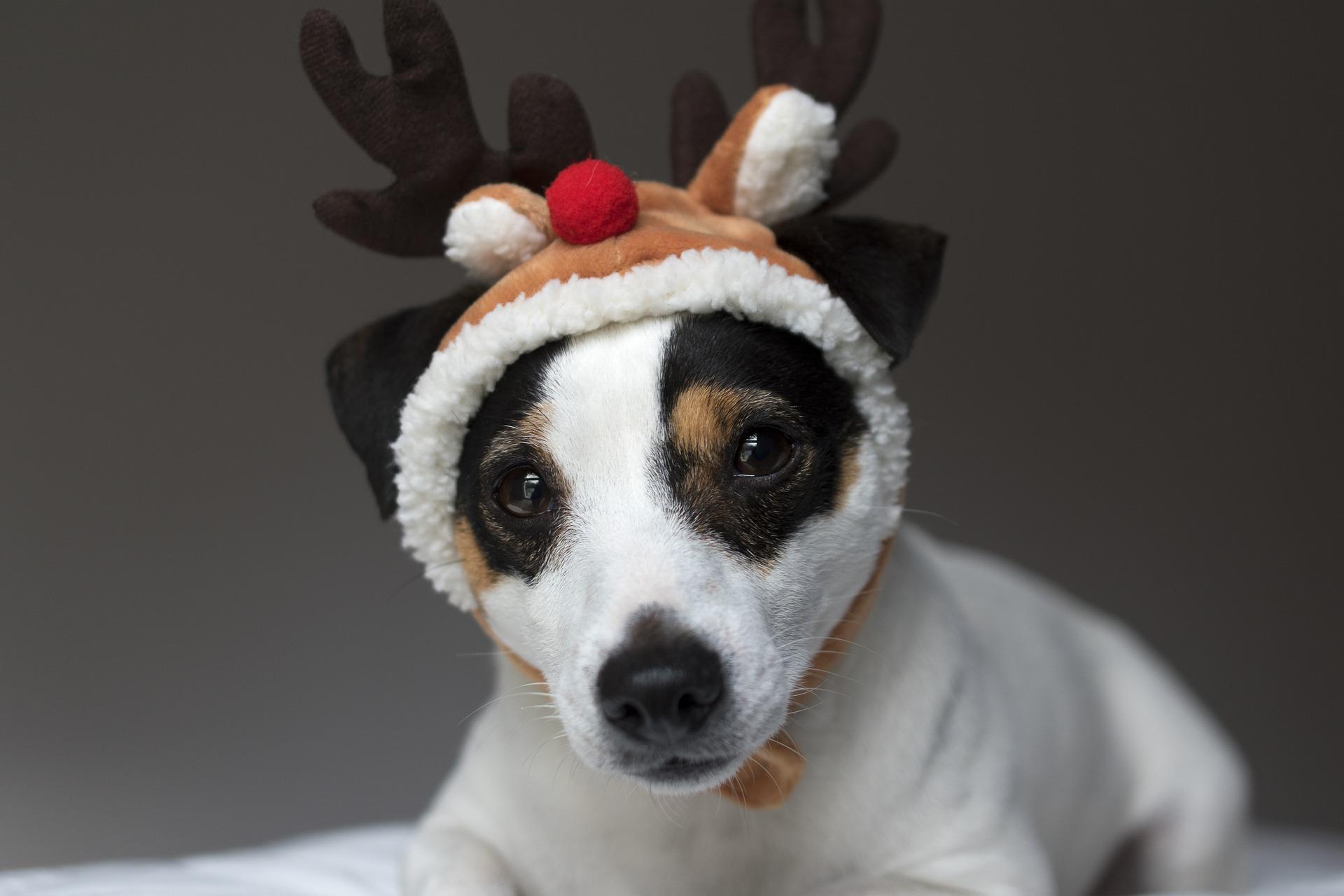 Jack Russel Weihnachten