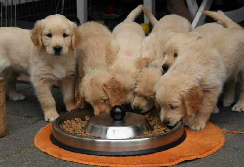 Golden Retriever Puppy 2706672 1920