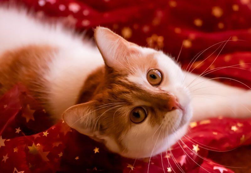 Katze Weihnachten