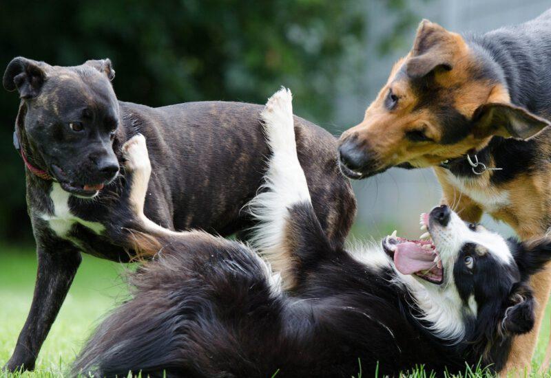 Hunde Spiel